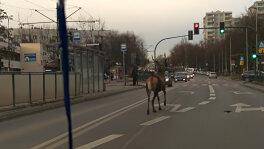 Jeleń na krakowskiej ulicy