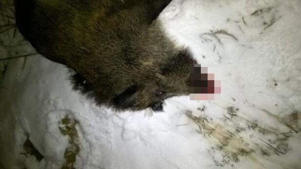Zdjęcie zabitego dzika Stowarzyszenie Mieszkańców Miasteczka Wilanów / facebook