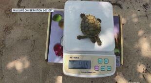 Wylęgło się ponad 20 żółwi zagrożonego gatunku