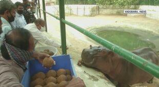 Tak hipopotam świętuje swoje urodziny